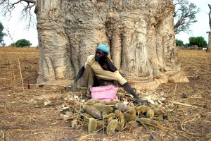 Man collects the fruit of the baobab tree a nutritious natural p
